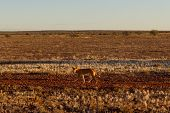 Australian Dingo Looking For A Prey In The Middle Of The Outback In Central Australia. The Dingo Is  poster