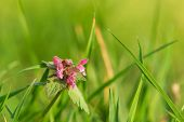 Close Up Of Pink Flowers Nature Background. Nature Background Of Pink Flower In The Grass. Green Nat poster