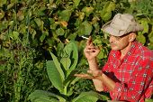 stock photo of tobacco barn  - Ukrainian peasant and tobacco plant - JPG