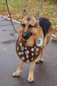 KIEV,UKRAINE-OCTOBER 15:An unidentified German Shepherd dog at the  Kiev Regional  exhibition of dog