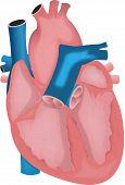 Постер, плакат: Сердце человека