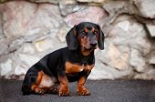 black dachshund dog sitting portrait