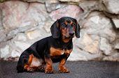 black dachshund dog sitting portrait
