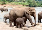 A female elephant feeds the baby. Pinnawela, elephant orphanage, Sri Lanka