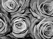 Black And White Roses, Monochrome