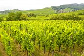 Saint-hippolyte (alsace) - Vineyards