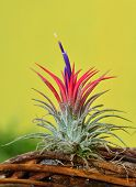 blooming Tillandsia ionantha