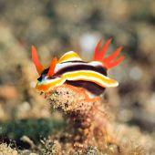 Macro shot of a Chromodoris magnifica nudibranch underwater