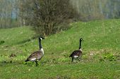 Couple Canada gooses in Dutch Biesbosch nature