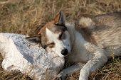 Homeless Dog Sleeps On Stone For A Pillow