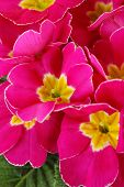 Beautiful pink primula, close up