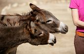 foto of horses ass  - funny two donkey want to bit or kiss a woman ass - JPG