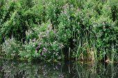 Purple riverside flowers