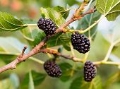 stock photo of mulberry  - Closeup of mulberries growing on tree - JPG
