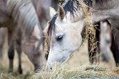stock photo of herd horses  - Herd of horses eating hay - JPG