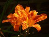 Orange Daylily Flowers