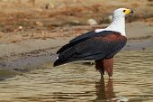 image of fish-eagle  - Fish eagle in the Chobe River Botswana - JPG