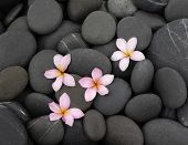 Four frangipani on wet black pebbles