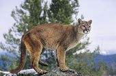 Mountain Lion standing on rock