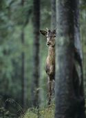Young red deer stag peeking from behind tree
