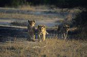 Three Lions hunting on savannah