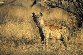 Spotted Hyena (Crocuta Cocuta) standing on savannah