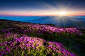 picture of night-blooming  - Magic pink rhododendron flowers under the dark blue sky - JPG
