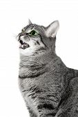 Mewing Green Eyes Cat poster