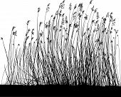 Reeds On White Background, Isolated Vector