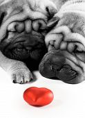 foto of valentines day card  - Picture of a Two sharpei puppies in love - JPG