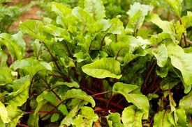 foto of laxatives  - Organic vegetable garden in community garden of urban area - JPG