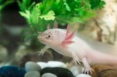 Axolotl In Aquarium