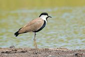 A Spur-winged Plover (vanellus Spinosus) In Profile