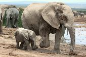Baby African Elephant And Mom