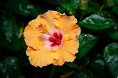 Orange Hibiscus Flower In Garden