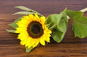 Sunflower On Hardwood Oak Shelf