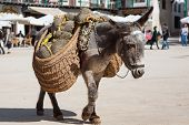 picture of burro  - Donkey carrying a sunflower in chinchon near madrid - JPG