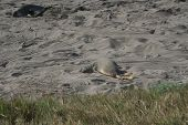 Baby Elephant Seal on California Beach