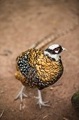 picture of pheasant  - Lady Amhersts pheasant  Chrysolophus amherstiae in the zoo - JPG