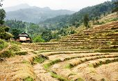 Cutting Field Of Rice - Harvest In Nepal