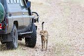 Close Encounter With Cheetah