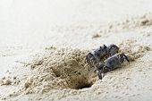 Ghost Crabs On White Beach L