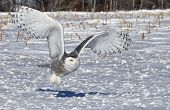 stock photo of owl eyes  - Snowy owl in flight, catching its prey in an open corn field.  Winter in Minnesota.