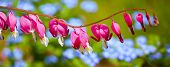 Bleeding Heart flower (Dicentra spectabilis) in the spring garden.