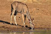 Kudu antelope (Tragelaphus strepsiceros) drinking water, Pilanesberg National Park, South Africa