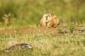 pic of blacktail  - Blacktailed Prairie Dog in the Black Hills of South Dakota - JPG