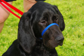 image of bloodhound  - blood hound lab at 5 months old during a walking training session with a nose leader - JPG