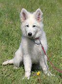 image of swiss shepherd dog  - Portrait of White Swiss Shepherd Dog in the garden - JPG