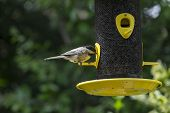 stock photo of chickadee  - A chickadee is feeding on sunflower seeds - JPG