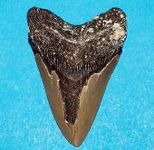 Постер, плакат: Megaladon Tooth